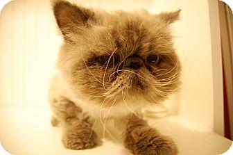 Himalayan Cat for adoption in Sawyer, North Dakota - Yetti
