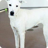 Adopt A Pet :: Lady Gaga - Appleton, WI