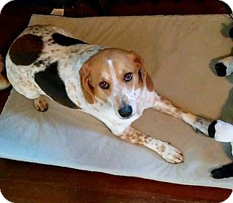 Beagle Mix Dog for adoption in Farmington, Michigan - Marley
