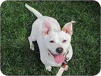 Jack Russell Terrier/Chihuahua Mix Dog for adoption in Cleveland, Ohio - KASHI