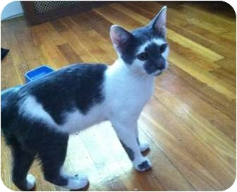 Domestic Shorthair Cat for adoption in Quincy, Massachusetts - Little Ricky