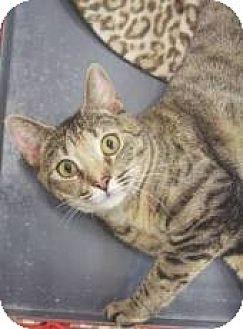 Domestic Mediumhair Cat for adoption in Miami, Florida - Marisol