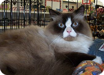 Ragdoll Cat for adoption in New Port Richey, Florida - Perceval