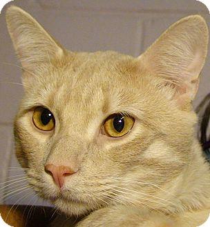 Domestic Shorthair Cat for adoption in El Cajon, California - Doodles