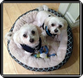 Maltese Mix Dog for adoption in Vancouver, Washington - Brit and Beau