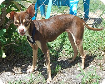 Chihuahua Dog for adoption in Bradenton, Florida - Ruthie