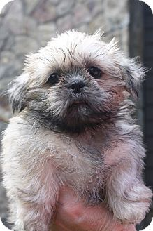 Shih Tzu Puppy for adoption in Newark, Delaware - Brigetta