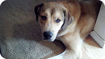 Anatolian Shepherd/Great Pyrenees Mix Puppy for adoption in Cincinnati, Ohio - Zeus