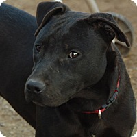 Adopt A Pet :: Denzel S.A.M courtesy listing - Sherman, CT