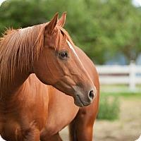Quarterhorse for adoption in Montesano, Washington - Freya May