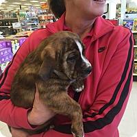 Adopt A Pet :: Madelyn's Puppy - Mojo - Midlothian, VA
