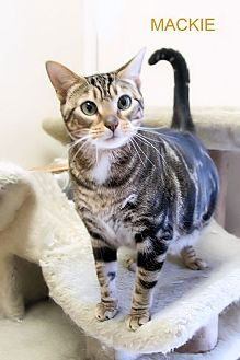Domestic Shorthair Cat for adoption in Morehead City, North Carolina - Mackie