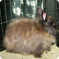 Jersey Wooly Mix for adoption in Los Angeles, California - Latte