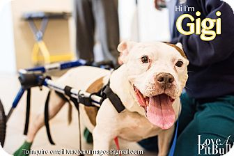 Pit Bull Terrier Mix Dog for adoption in Redondo Beach, California - Gigi!