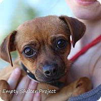 Adopt A Pet :: Stella *adoption pending* - Manassas, VA