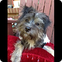 Adopt A Pet :: Allie - LEXINGTON, KY