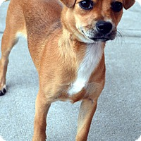 Adopt A Pet :: Nellie-Adoption pending - Bridgeton, MO