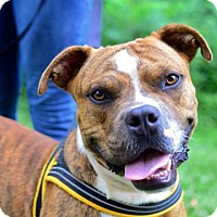 Adopt A Pet :: Braxton - Greenwood, SC