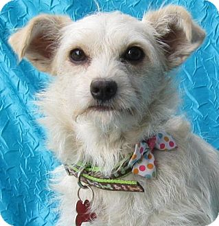 Pomeranian/Jack Russell Terrier Mix Dog for adoption in Cuba, New York - Baby Girl