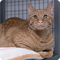 Domestic Shorthair Cat for adoption in Houston, Texas - Jasper