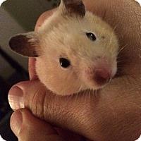 Adopt A Pet :: Caramella - Bensalem, PA