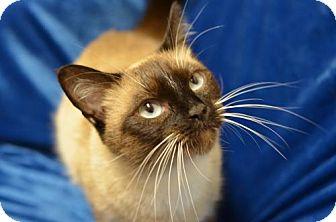 Domestic Shorthair Cat for adoption in Atlanta, Georgia - Lexi161841