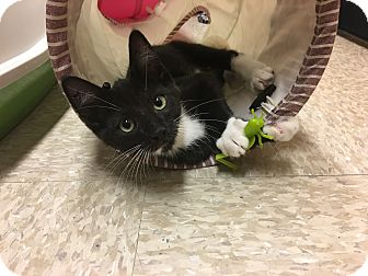 Domestic Shorthair Kitten for adoption in Foothill Ranch, California - Piano