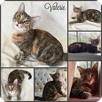 Bengal Cat for adoption in Joliet, Illinois - Valerie
