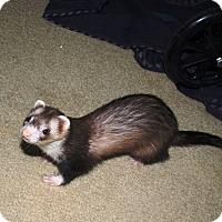 Adopt A Pet :: Lots of Ferrets - Acworth, GA