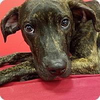 Adopt A Pet :: Pongo - Elyria, OH