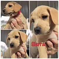 Adopt A Pet :: Sierra - Folsom, LA