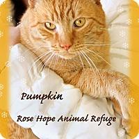 Adopt A Pet :: Pumpkin - Waterbury, CT