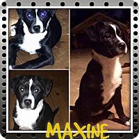 Adopt A Pet :: MAXINE - HAGGERSTOWN, MD