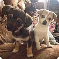 Adopt A Pet :: Sailor - Eugene, OR