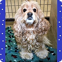 Adopt A Pet :: Cocker Spaniel male - San Jacinto, CA