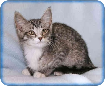 Domestic Shorthair Kitten for adoption in Howell, Michigan - Henry