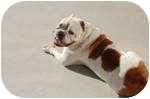 English Bulldog Dog for adoption in conyers, Georgia - Silas