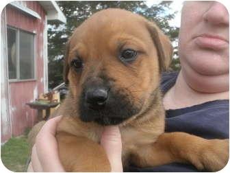 Rottweiler/Bullmastiff Mix Puppy for adoption in Howell, Michigan ...