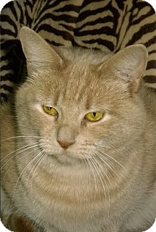 Domestic Shorthair Cat for adoption in Medway, Massachusetts - Dolly