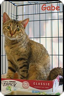 Domestic Shorthair Cat for adoption in Merrifield, Virginia - Gabe