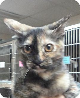 Domestic Shorthair Kitten for adoption in St. Petersburg, Florida - Brownie