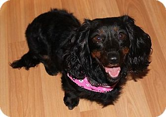 Dachshund Dog for adoption in North Olmsted, Ohio - Taffy