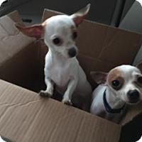 Adopt A Pet :: Tica - San Diego, CA
