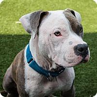 Adopt A Pet :: Canonball - Los Angeles, CA