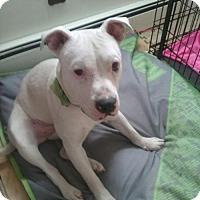Adopt A Pet :: Skye Cat Friendly - Rowayton, CT
