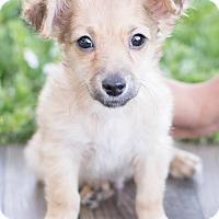Adopt A Pet :: Stitch - Modesto, CA