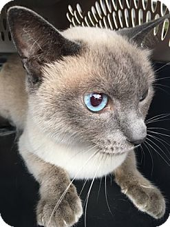 Siamese Cat for adoption in Devon, Pennsylvania - LA-Ming