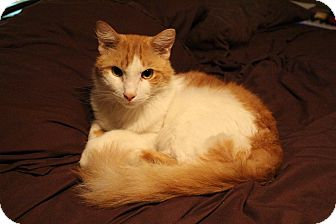 Polydactyl/Hemingway Cat for adoption in Chandler, Arizona - Woodstock
