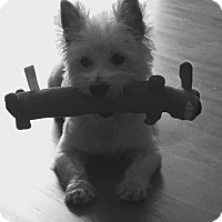 Adopt A Pet :: FRED*-NEEDS WESTIE EXPERIENCE* - Frisco, TX