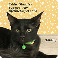 Adopt A Pet :: A Kitten Boy: EDDIE MUNSTER - Monrovia, CA